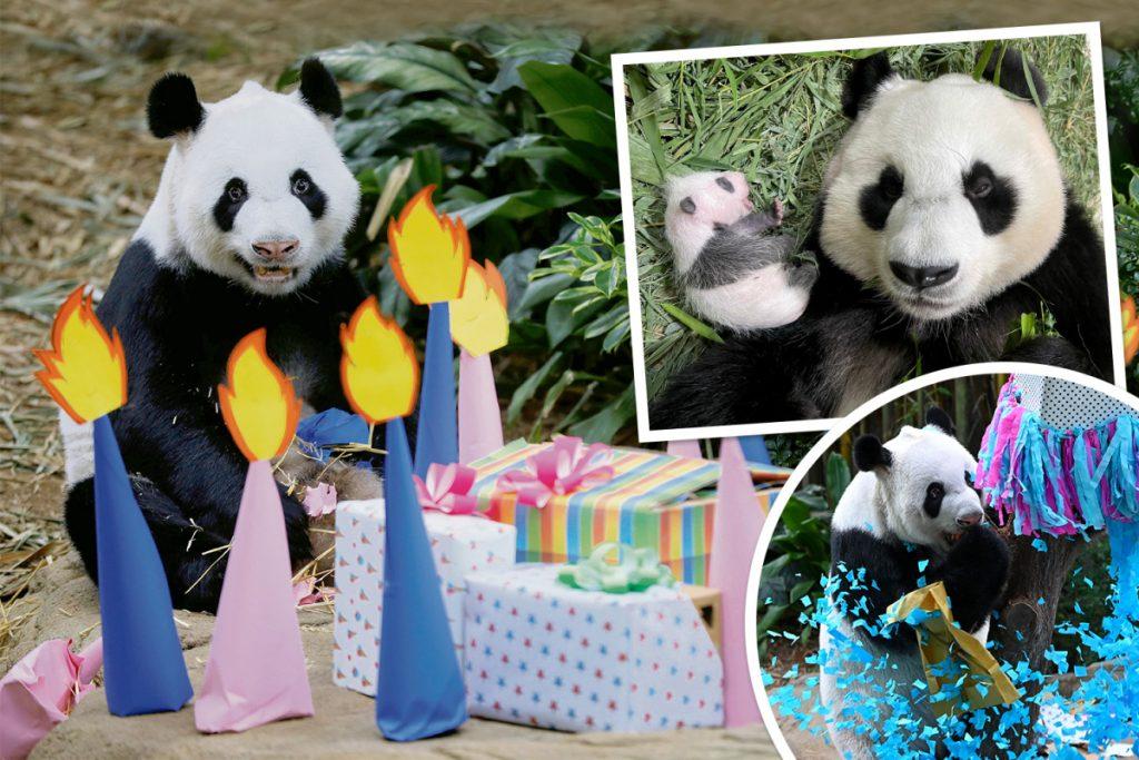 Big panda Kai Kai has a number of enjoyable at his cub's gender reveal occasion